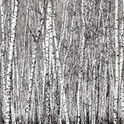 Aspen Trees Scrapbook Paper