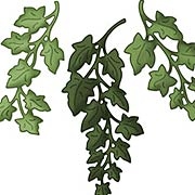 Ivy Dies - Set of 3